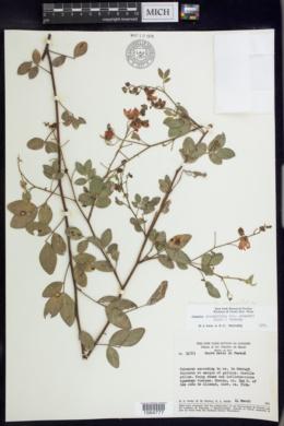 Image of Chamaecrista acosmifolia