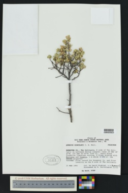 Image of Quercus hinckleyi