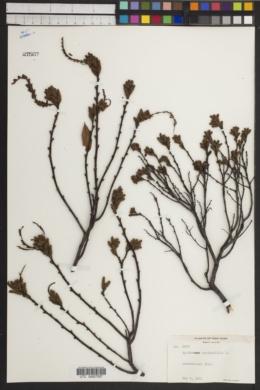 Myrica aspleniifolia image