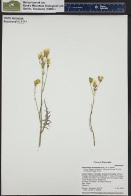Image of Psilochenia acuminata