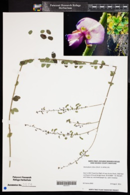 Image of Desmodium ciliare