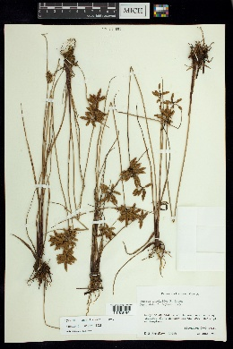 Image of Cyperus unioloides