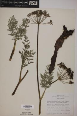 Lomatium dissectum var. multifidum image