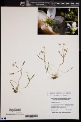 Claytonia virginica var. virginica image