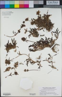 Penstemon heterodoxus var. heterodoxus image
