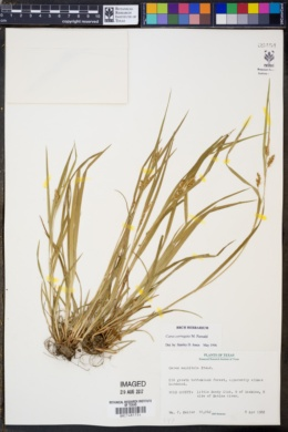 Image of Carex corrugata