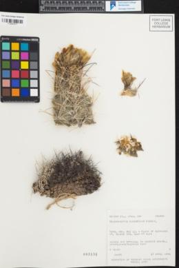 Image of Sclerocactus pubispinus