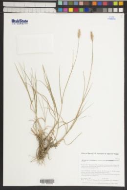 Agropyron cristatum subsp. pectinatum image