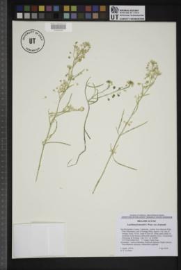 Lepidium fremontii var. fremontii image
