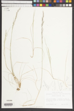 Image of Agrostis hoffmanni