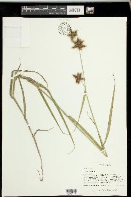 Fuirena bushii image