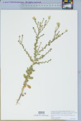 Xanthisma viscidum image