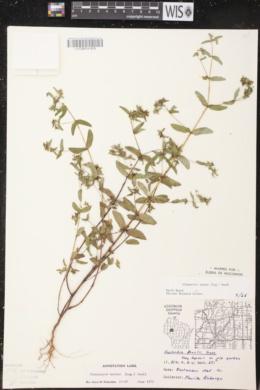 Euphorbia nutans image
