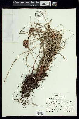 Cyperus sordidus image