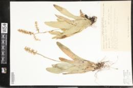 Image of Catopsis subulata