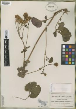 Packera coahuilensis image