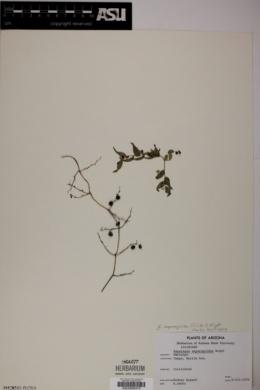 Asparagus asparagoides image