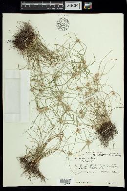 Image of Cyperus tenerrimus