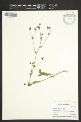 Image of Horkelia sericata