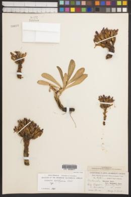 Orobanche californica image