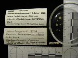 Image of Valvata winnebagoensis