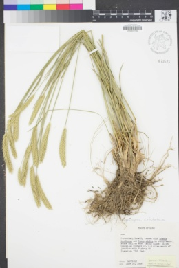 Image of Agropyron cristatum