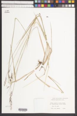 Image of Festuca magellanica