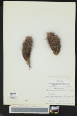 Echinocereus chloranthus image