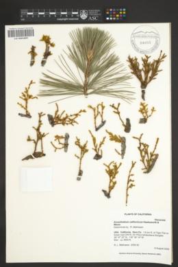 Arceuthobium californicum image