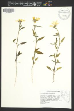 Helianthus deserticola image
