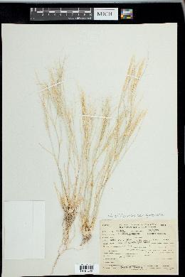Aristida californica var. glabrata image