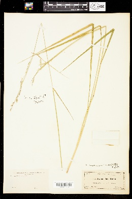 Image of Eriochloa michauxii