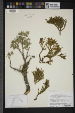 Phoradendron juniperinum subsp. juniperinum image