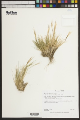 Image of Pappostipa ibarii