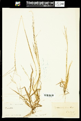 Image of Digitaria filiformis