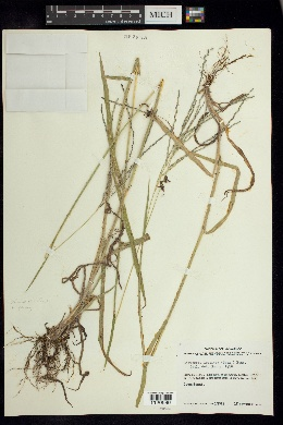 Image of Digitaria leucites