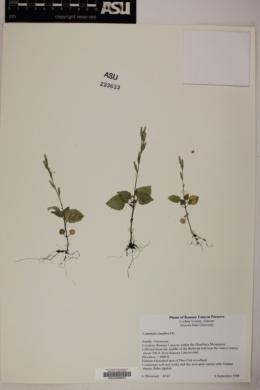 Carminatia tenuiflora image