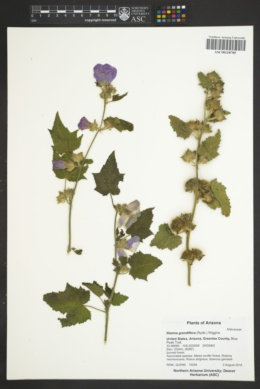 Iliamna grandiflora image