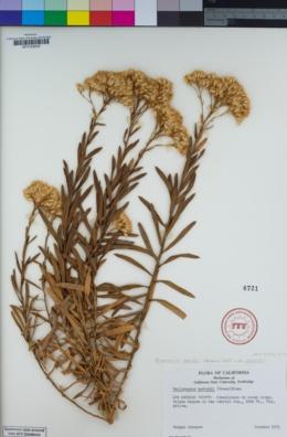 Ericameria parishii image