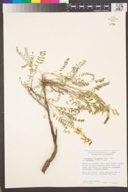 Astragalus trichopodus image