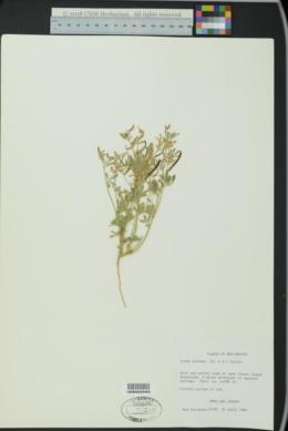 Acmispon greenei image