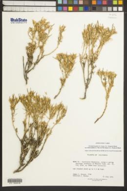 Ericameria parryi var. monocephala image