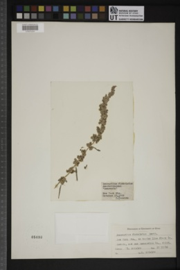 Amaranthus fimbriatus image