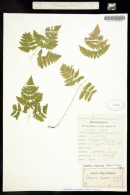 Gymnocarpium dryopteris image