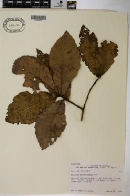 Quercus peduncularis image