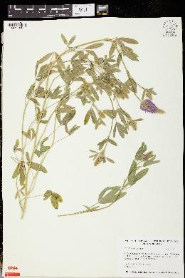 Trifolium purpureum image