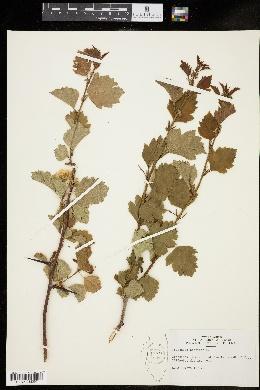 Image of Crataegus coccinea