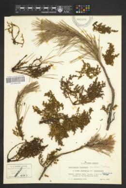 Arceuthobium yecorense image