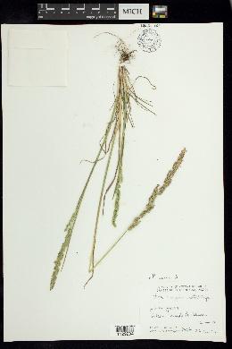 Image of Poa scaberula