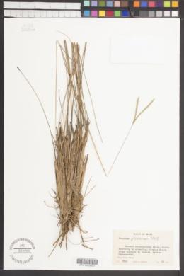 Image of Paspalum proximum